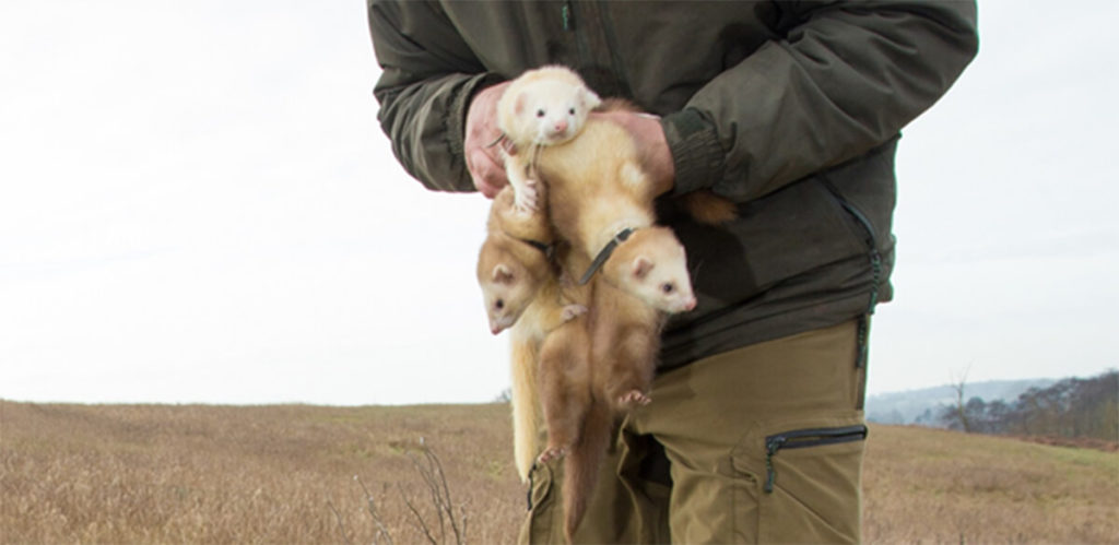 Insight into the World of Ferreting
