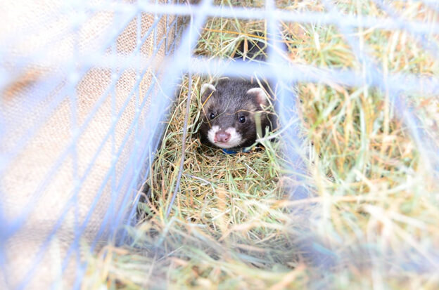 Polecat Research in the United Kingdom with the Vincent Wildlife Trust