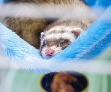 It's Getting Hot in Here What's the Best Temperature for Your Ferret?
