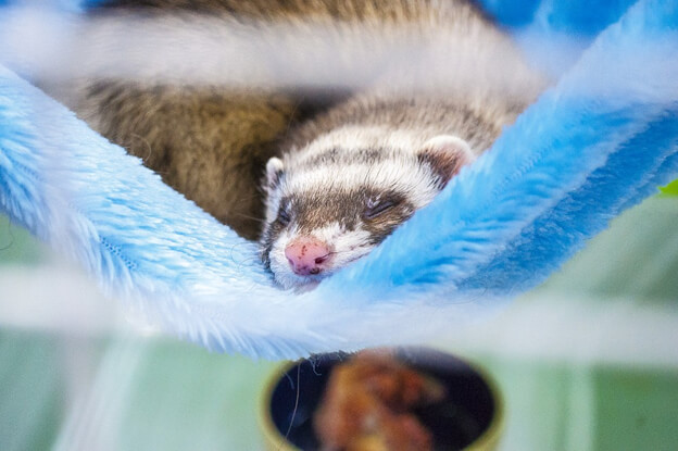 Why cage your ferret?