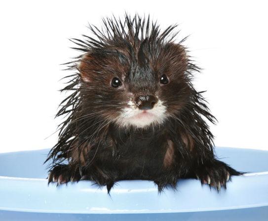 How often should you bathe your ferret?