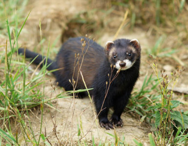 Ferret Breed - A European polecat at the British Wildlife Centre in Surrey