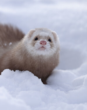 Ferret Breed - A champagne ferret
