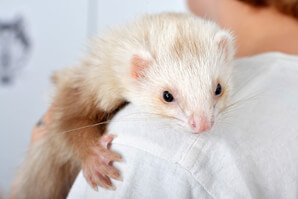 Ferret Breed - A cinnamon ferret