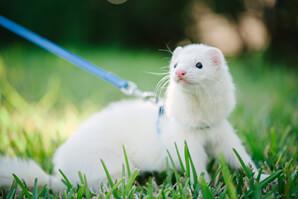 Ferret Breed - A dark-eyed white ferret