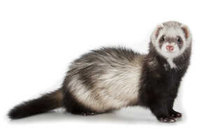 Ferret Breed - A masked ferret