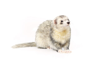 Ferret Breed - A roan ferret