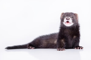 Ferret Breed - A self (milkmouth) ferret