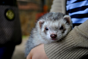 Ferret Breed - A silver ferret