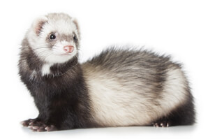 Ferret Breed - A standard ferret