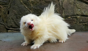 Ferret Breed - An angora ferret. Photo courtesy of Frisky Business Ferretry