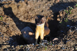 Ferret Family - A long-tailed weasel's summer coat