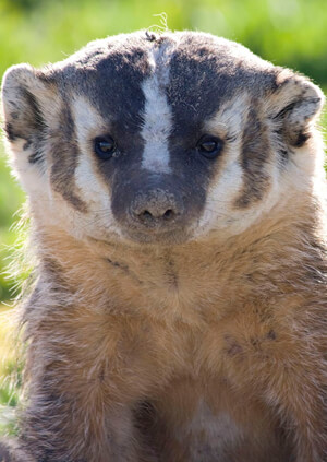 Ferret Family - American badger (Taxidea taxus)
