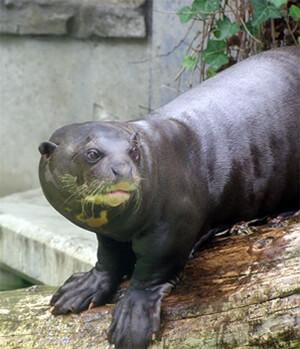 Ferret Family - Giant otter (Pteronura brasiliensis)