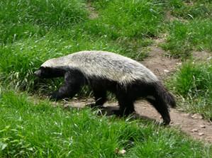 Ferret Family - Honey badger (Mellivora capensis)