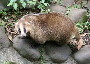 Ferret Family - Japanese badger (Meles anakuma)