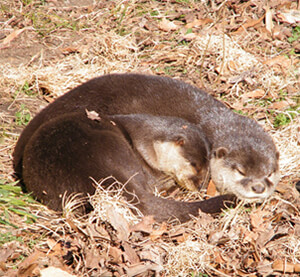 Ferret Family - Oriental small-clawed otter (Aonyx cinerea)