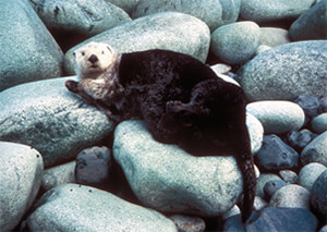 Ferret Family - Sea otter (Enhydra lutris)
