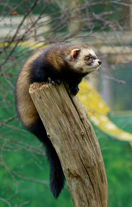 Ferret Family - The European polecat, photo by Peter Trimming