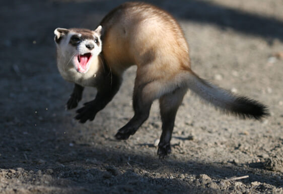 Ferret Family - The black-footed ferret (Mustela nigripes)