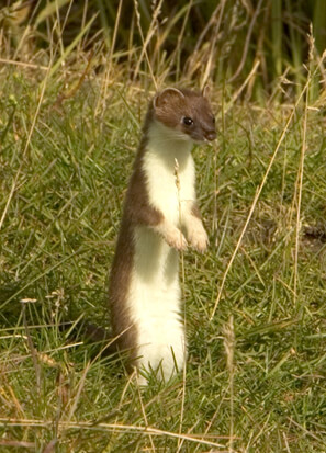 Ferret Family - The short-tailed weasel (Mustela erminea), also called a stoat or ermine