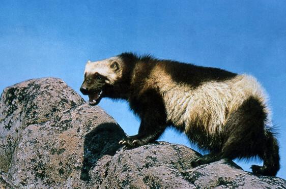 Ferret Family - Wolverine (Gulo gulo)