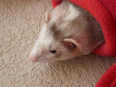 Ferret of the Month - Bartleby