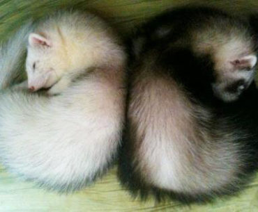 Ferret of the Month - Bo & Miko