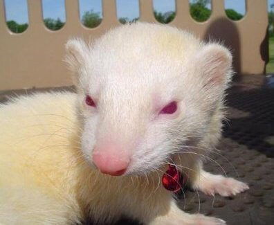 Ferret of the Month - King Satan Fragle