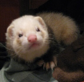 Ferret of the Month - Moe