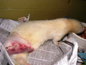 Ferret of the Month - Morphine 2