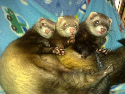 Ferret of the Month - Neytiri, Meshoe, Chi Chi