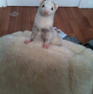 Ferret of the Month - Nips