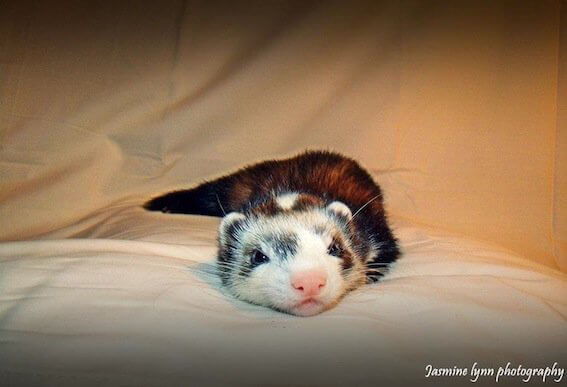 Ferret of the Month - Opey