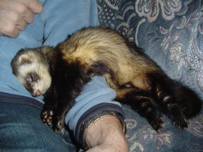Ferret of the Month - Orpie