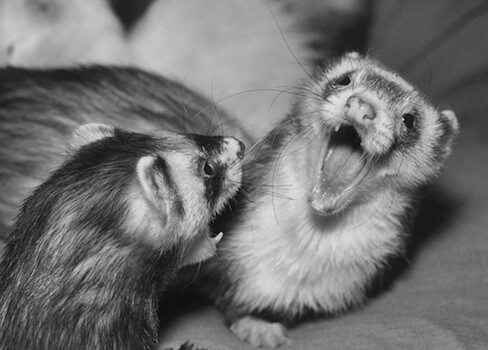 Ferret of the Month - Ozzy and Harry