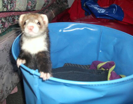 Ferret of the Month - Paige