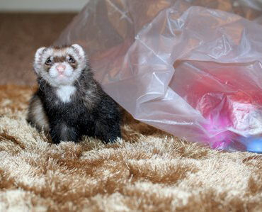 Ferret of the Month - Reno