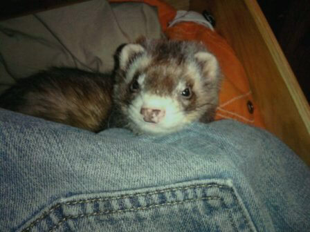 Ferret of the Month - Snickers