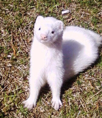 Ferret of the Month - Vinnie