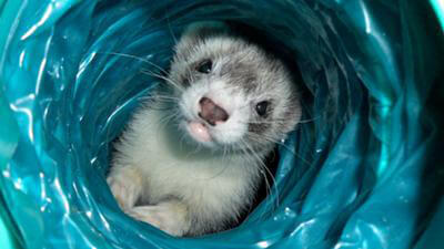 Ferret of the Month - Wolverine