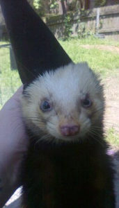Ferret of the Month - Yahtzee, Peanut and Sir Hamish 2