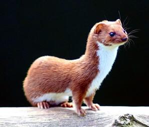 Least weasels