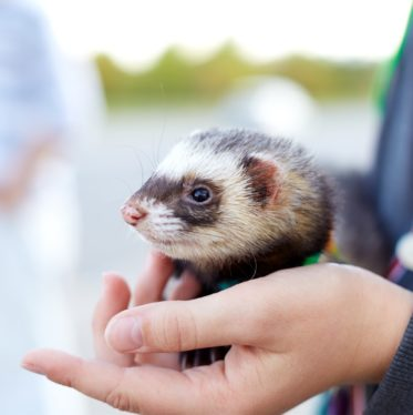 Ferrets and Children