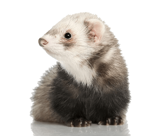 Is the ferret you are getting desexed?