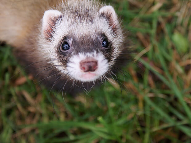 Where to buy a ferret