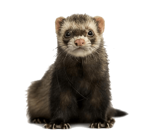 What to look for in a ferret