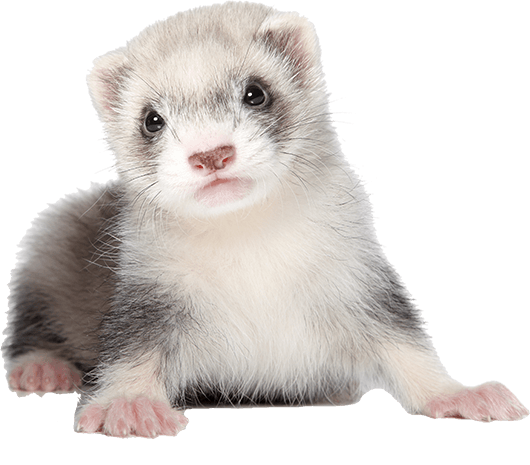 Buying your ferret