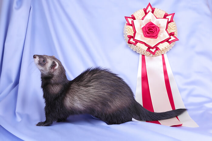 How to pick a ferret breed and type