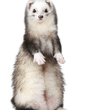 How bad do ferrets stink